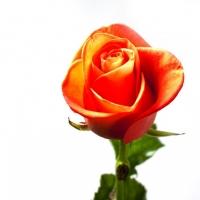 Кустова троянда