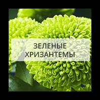 Зеленые хризантемы Киев